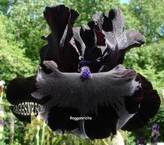 "Tall Bearded ""MIDNIGHT OIL"" Iris - EBONY VELVET BLACK '97"