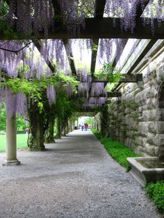 Wisteria in spring over the pergola leading from Biltmore House to the Walled Garden