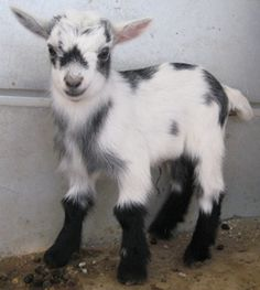 Pygmy goats. I want one!