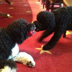 Bo and Sunny playing tug of war