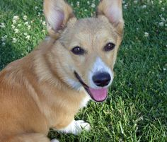 Pembroke Welsh Corgi | Pembroke Welsh Corgi Pics | Canadian Pet Care Wallpapers Images And ...