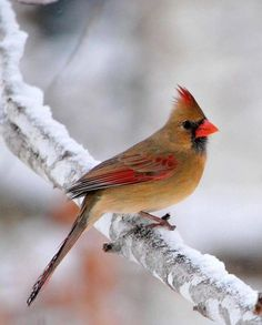 I heard a thump on my glass patio door the other day.  There sat a lady cardinal on the hand rail near the door. Her eyes enlarged  and almost fell so, I stepped out and cradled her with my hands.  Suddenly she flew free but, landed again. I ran to get a box to protect her thinking she had a concussion or something. She had flown away when I returned.  Up above my head she chirped to let me know she was there.  It was the most exciting feeling to finally get that close to my favorite wild…