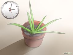 Plant Aloe Vera Step 2 Version 2.jpg