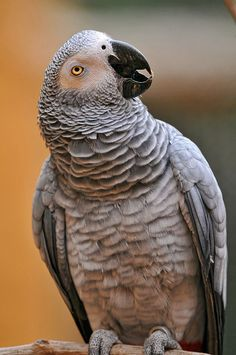 Clover, a Congo African Grey parrot shows off some of her 350 word vocabulary. Pretty Birds, Love Birds, Beautiful Birds, Animals Beautiful, Cute Animals, Exotic Birds, Colorful Birds, Senegal Parrot, African Grey Parrot