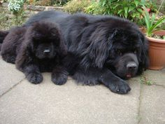 Newfies...Large and small sizes