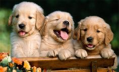 You and your Golden Retriever can be heroes. Help cure canine cancer by joining 3,000 other Golden puppies and their owners in the most important observational study ever undertaken for canine health.