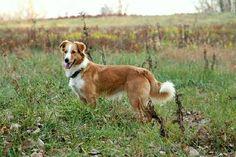 English Shepherd dog photo | , English Shepherd, English Shepherd puppies- Purebred UKC, Dog ...