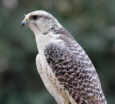 Gyrfalcon (Falco rusticolus) An adult bird profile