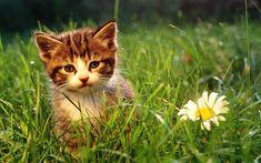 Kitten & daisies