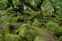 Wistman's Wood in Dartmoor National Park in England. It is one of the most ancient oak woodlands in England, and is comprised of contorted oak trees which only grow to around 3 metres high. The trees grow through and around a carpet of boulders, and the whole scene is covered with moss. If ever there was a wood that could inspire 'Lord of the Rings', this is it.