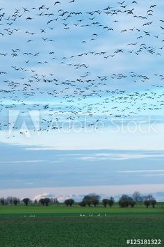 Wildgänse am Herbsthimmel und Schwäne auf dem Feld auf Nahrungssuche im Winter, Kanadagänse, Branta canadensis, überwinternde Zugvögel in Norddeutschland, Ernteeinbußen in der Landwirtschaft