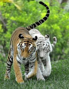 The Effective Pictures We Offer You About Feline sauvage A qu Cute Baby Animals, Animals And Pets, Funny Animals, Animals Images, Animals Kissing, Wild Animals, Funny Cats, Funny Animal Images, Strange Animals