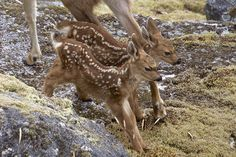 The #shortstory of the twin fawns