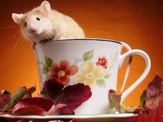 Cute hamsters decorated our pictures. Here are the hamster wall papers. We present you with some lovely 32 hamster backgrounds and information about hamams. Cute Hamsters, Cute Mouse, Cute Animal Pictures, Rodents, Stuffed Animals, Pet Birds, Tea Cups, Cute Animals, Wildlife