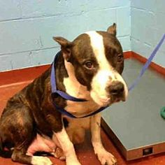 Pictures of SUGAR PLUM a American Pit Bull Terrier for adoption in Atlanta, GA who needs a loving home.