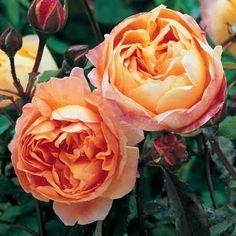 ❤❤❤ David Austin English Roses