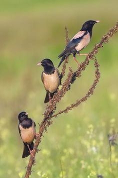 Rosy Starling (Sturnus roseus) also known as the Rose-coloured Starling or Rose-coloured  Pastor