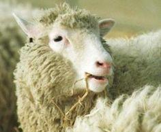 ovelha dolly