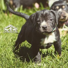 Catahoula Leopard Dog, Sasquatch Puppy owned by Sasquatch Catahoulas catahoula #catahoulas #catahoulacur #catahoulaleoparddog #puppy #dog #LouisianaCatahoulaLeopardDog #HodDog #HuntingDog #CattleDog #SasquatchCatahoula