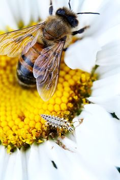 A honeybee serves to pollinate a Shasta daisy, while a predaceous lacewing larva helps protect it from pest insects.