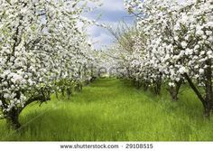 Apple Trees During Blooming. Spring Orchard. Shallow Dof. Stock Photo 29108515 : Shutterstock