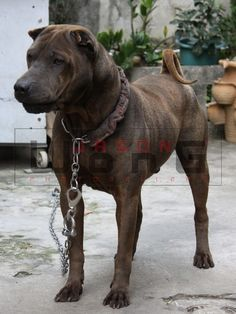 Image result for traditional shar pei