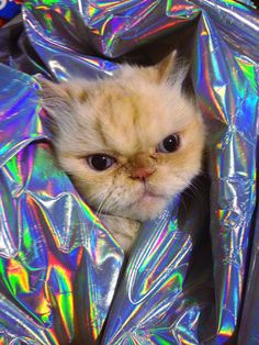 Holocat #holographic #cat #angry
