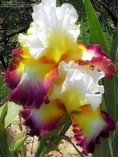 Tall Bearded Iris 'Starship Enterprise' - voluptuous petals and a beautiful combination of colours Iris Flowers, Exotic Flowers, Amazing Flowers, Planting Flowers, Beautiful Flowers, Flowers Garden, Tropical Flowers, Purple Flowers, Iris Garden
