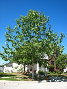 Sycamore trees (Platanus occidentalis) make handsome shade trees for large landscapes. Sycamore trees produce large leaves that have a distinctive deep green Trees For Front Yard, Sycamore Street, Garden Site, Street Trees, Shade Trees, Backyard For Kids, Front Yard Landscaping, Native Plants, Trees To Plant
