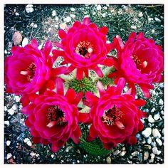Torch Cactus Flower Sextet 04