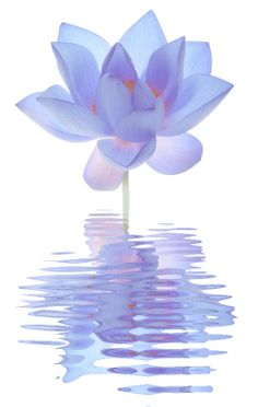 Blue Lotus Flower Reflections_孙芸芸 - 美丽鸟