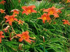 Favorite flower... tiger lillies