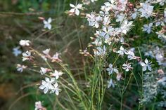 Image result for gaura whirling butterflies