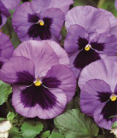 $12.95 Pansy, Ocean. 17082. ( 6 Plants).  Plant in fall for color well into early winter, and if grown in a southern facing location, will initiate new growth in late winter and flower into summer.Full Sun, Part Sun  Height: 9-12  inches Spread: 9-12  inches Bloom Duration: 40  weeks
