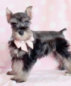 Miniature Schnauzer puppy Coco Chanel with her pretty green eyes! Description from pinterest.com. I searched for this on bing.com/images