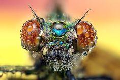 Ondrej Pakan, de Myjava, Eslováquia, capta impressionantes fotos macro de insetos cobertos de minúsculas gotículas de água.