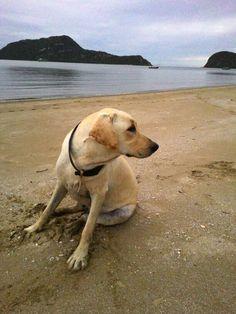 Sam Roi Yod Beach Labrador Retriever, Trips, Beach, Dogs, Animals, Labrador Retrievers, Viajes, Animales, The Beach