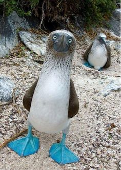 a Blue-Footed Boobie wearing his blue suede shoes...