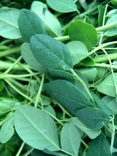 Moringa leaves are amazing.