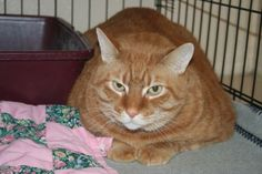 BIG CHARLIE (Aliquippa, Pa) Big Charlie is 9 years old. He is very sweet and sad to be separated from his owner who is no longer able to take care of him. He is on a special diet and would love to be in a home of his very own.  Tested negative for feline leukemia and FIV.
