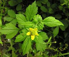Wood Avens.  Geum urbanumYoung leaves - cooked. Root - cooked. Used as a spice in soups, stews etc, and also as a flavouring in ale[4, 5, 8, 13, 183]. It is a substitute for cloves with a hint of cinnamon in the flavour[12, 74, 183]. It is best used in spring[12]. The root is also boiled to make a beverage[161]. The root is up to 5cm long[4].  Medicinal Uses  Antidiarrhoeal;  Antiinflammatory;  Antiseptic;  Aromatic;  Astringent;  Diaphoretic;  Febrifuge;  Skin;  Stomachic;  Styptic;  Tonic.