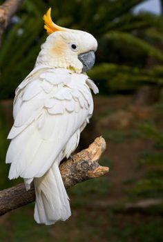 Sulphur Crested Cockatoo (Cacatua galerita) Australia