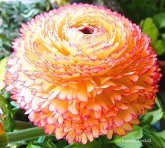 Ranuculus | yellow petals with pink edges ~ by dorena-wm