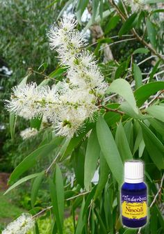 Niaouli Essential Oil (Melaleuca viridiflora) for aromatherapy, skin care and natural perfumes. Tinderbox: supplying pure essential oils since Niaouli Essential Oil, Blue Glass Bottles, Melaleuca, Growing Tree, Pure Essential Oils, Tea Tree, Peppermint, Herbalism, Fragrance
