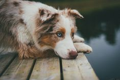 Australian Shepherd. By Marta May.