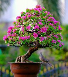 Bougainvillea bonsai visited by a Inca dove