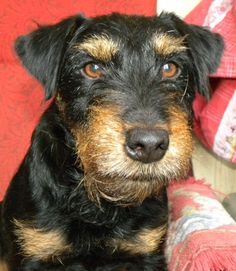 Terrier, Daschund, Hunting Dogs, Animals And Pets, German, Dogs, Hunting, Pets, Deutsch