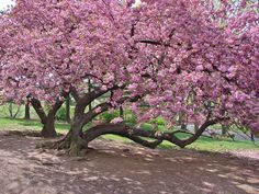 The Most Beautiful Cherry Tree Photograph - The Most Beautiful Cherry Tree Fine Art Print Dwarf Cherry Tree, Weeping Cherry Tree, Flowering Cherry Tree, Cherry Blossom Tree, Blossom Trees, Blossom Flower, Cherry Tree Varieties, Wisteria Tree, Myrtle Tree