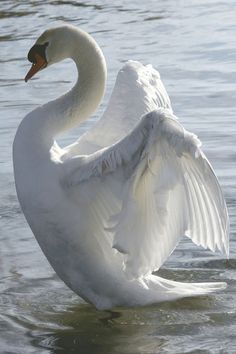 Gorgeous beautiful swan photo of birds. Beautiful Moments, Beautiful Birds, Beautiful Swan, Swans, Bird Pictures, Cute Pictures, Animal Photography, Nature Photography, Animals And Pets