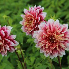 Dahlia 'Garden Show' Dahlia, Garden Show, Plants, Dahlias, Plant, Planting, Planets